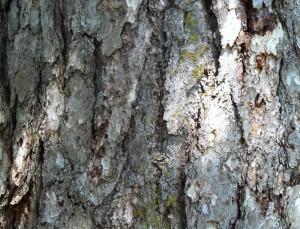Austrian_Pine_bark_detail